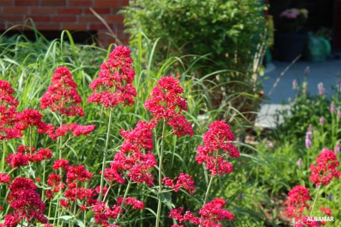 Ostrogowiec czerwony 'Coccineus' Centrantus ruber
