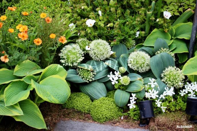 Czosnek karatawski Allium karataviense