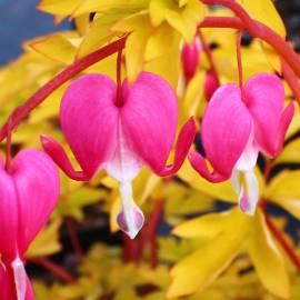 Serduszka okazała 'Gold Heart' Dicentra spectabilis