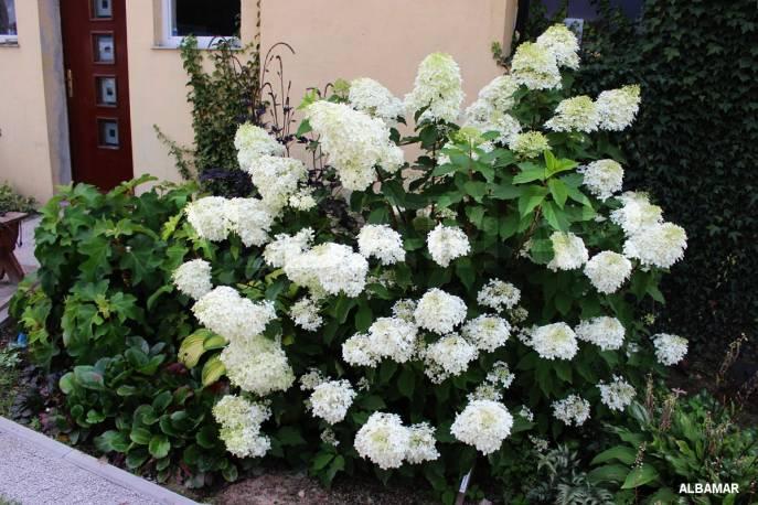 Hortensja bukietowa 'Phantom' Hydrangea paniculata