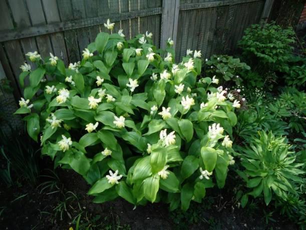 Majówka groniasta Maianthemum racemosum