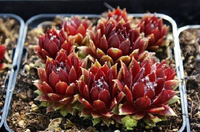 Rojnik 'Silberkarneol' Sempervivum hybridum