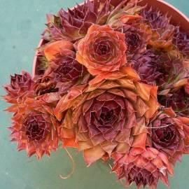 Rojnik 'Noir' Sempervivum hybridum