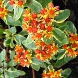 Rozchodnik kamczacki 'Variegatum' Sedum kmtschaticum