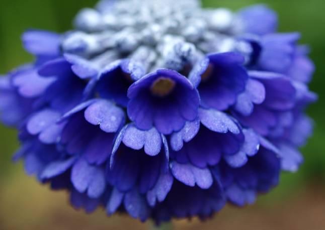 Pierwiosnek główkowaty Moreana Primula capitata