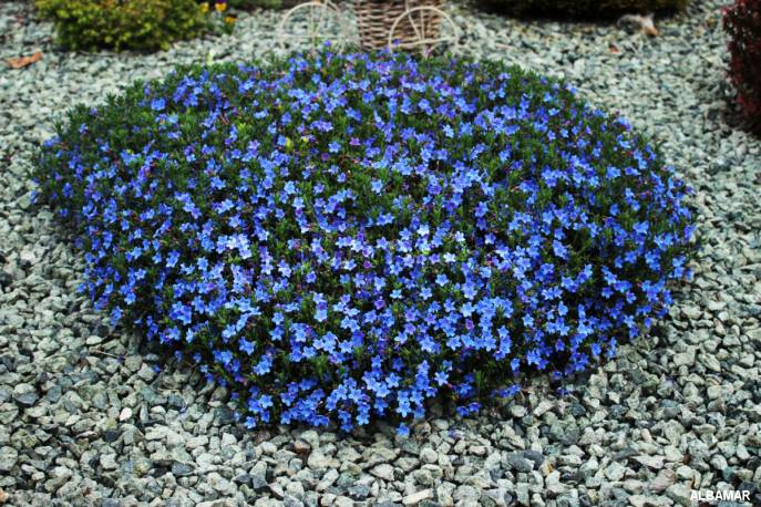 Litodora rozpostarta 'Heavenly Blue' Lithodora diffusa