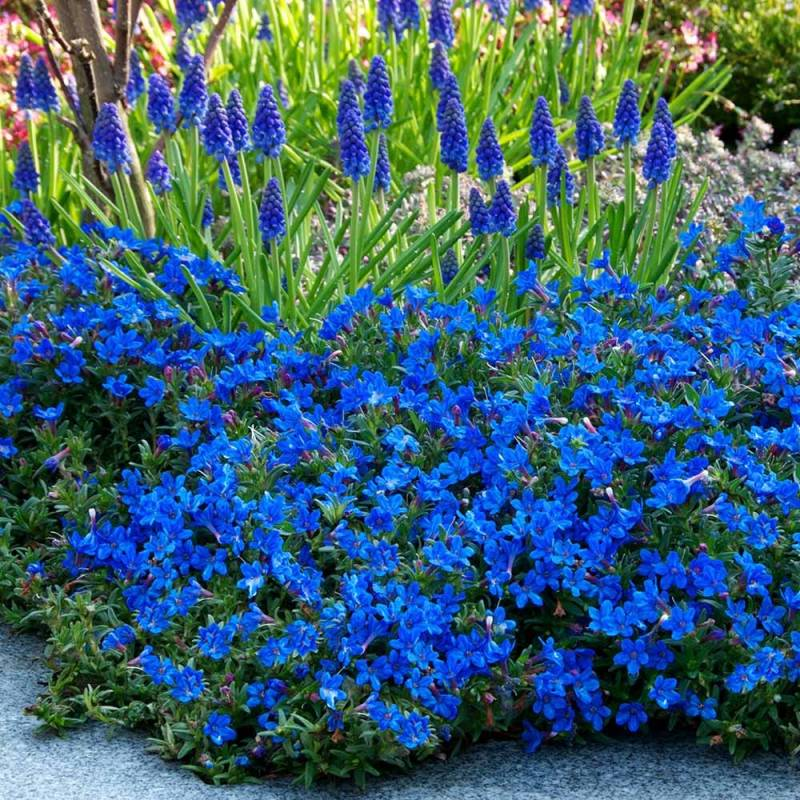 litodora rozpostarta 39 heavenly blue 39 lithodora diffusa. Black Bedroom Furniture Sets. Home Design Ideas