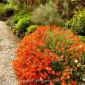 Posłonek 'Henfield Brilliant' Helianthemum hybridum