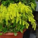 Chiastofil naprzeciwlistny Chiastophyllum oppositifolium