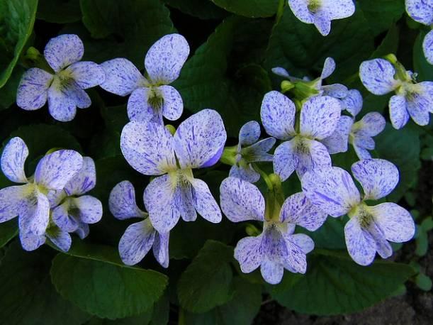 Fiołek motylkowaty 'Freckles' Viola soraria