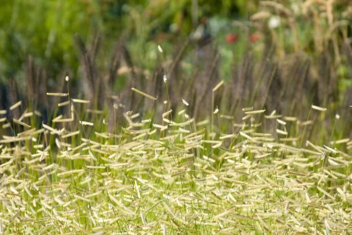 Butelua smukła Bouteloua gracilis