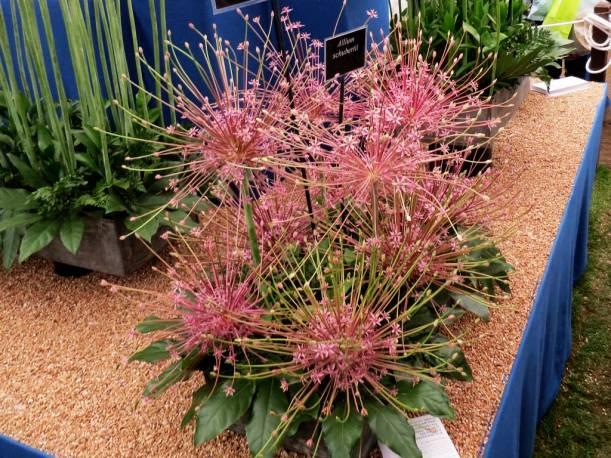 Czosnek Szuberta Allium schubertii