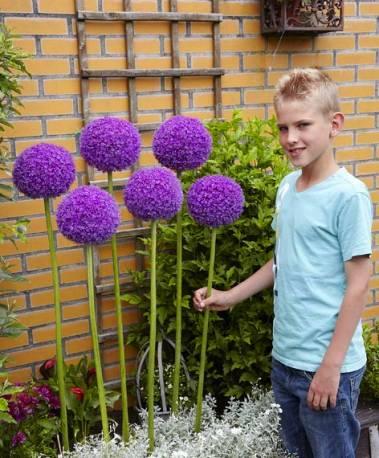 Czosnek olbrzymi Allium giganteum