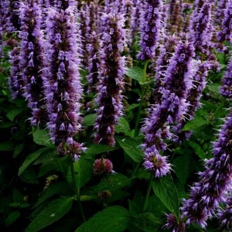 Kłosowiec ogrodowy 'Astello Indigo' Agastache
