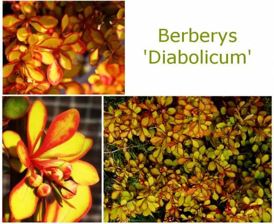 Berberys thunberga 'Diabolicum' Berberis thunbergii