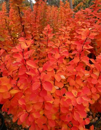 Berberys thunberga 'Orange Pillar' Berberis thunbergii