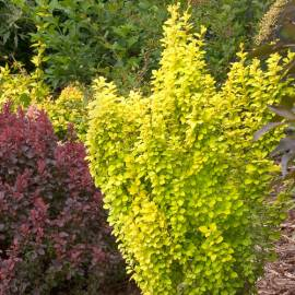 Berberys thunberga 'Golden Tower' Berberis thunbergii