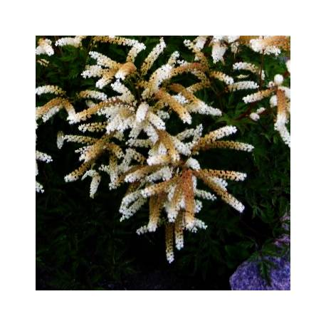 Parzydło blekotolistne Aruncus aethusifolius