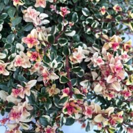 Macierzanka zwyczajna 'Foxley' Thymus pulegioides