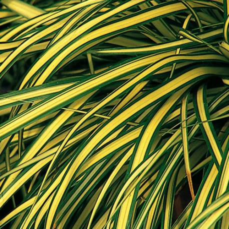 Turzyca oszimska 'Evergold' Carex oshimensis