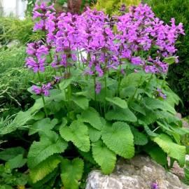 Czyściec wielkokwiatowy Stachys grandiflora