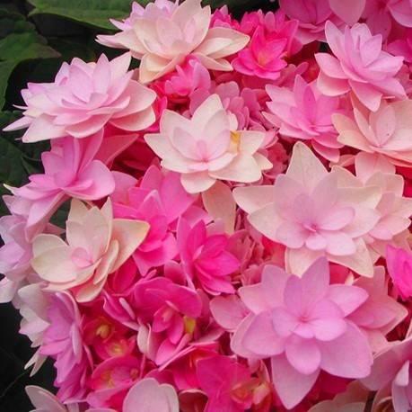 Hortensja ogrodowa You&Me 'Romance'