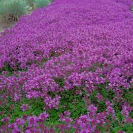 Macierzanka piaskowa 'Coccineus' Thymus serphyllum