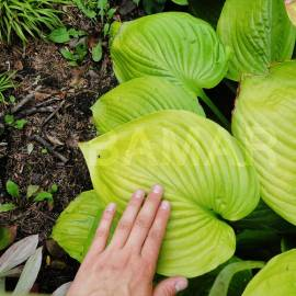Funkia 'Sum and Substance' Hosta