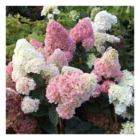 Hortensja bukietowa 'Sundae Fraise' Hydrangea paniculata