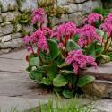 Bergenia sercolistna'Rotblum' Bergenia cordifolia