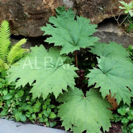 Rabarbar dłoniasty odm. Tangucka Rheum palmatum var tanguticum