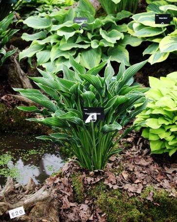 Funkia 'Praying Hands' Hosta