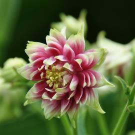 Orlik pospolity 'Nora Barlow' Aquilegia vulgaris