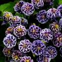 Orlik pospolity 'Winky Blue and White Double' Aquilegia vulgaris