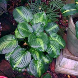Funkia 'Avocado' Hosta
