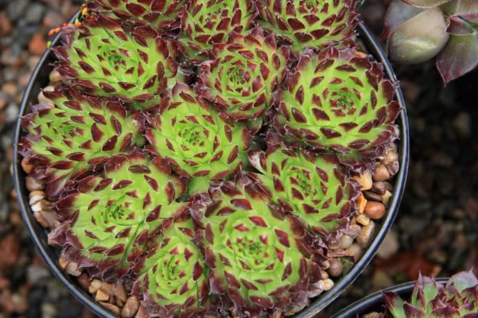 Rojnik wapienny 'Bicolor' Sempervivum calcareum