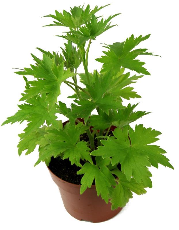 delphinium_belladonna_bellamosum.jpg