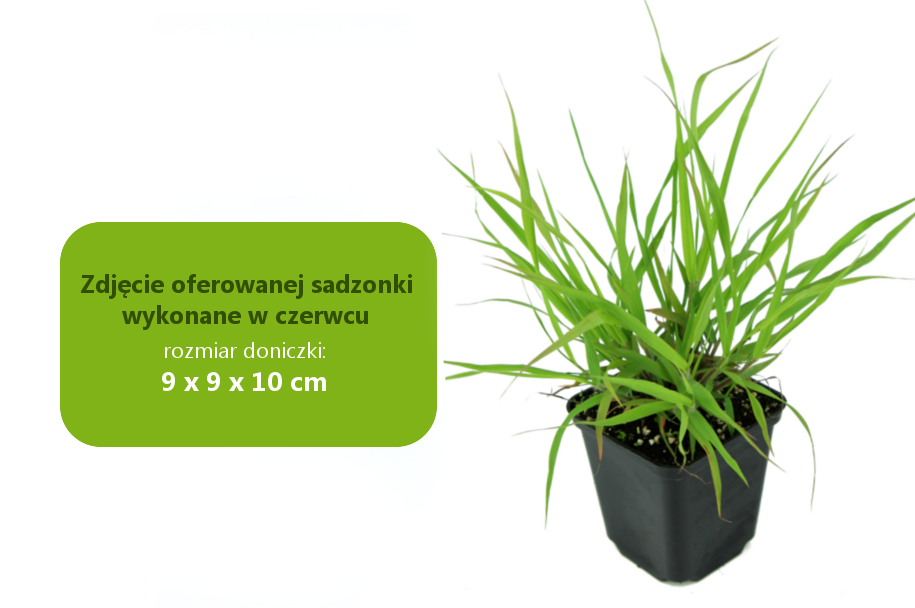 eragrostis_spectabilis.jpg