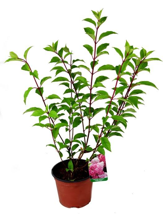 hydrangea_paniculata_vanille_fraise.jpg