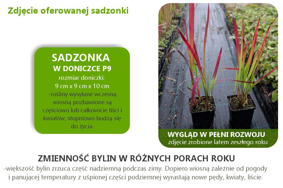 imperata_cylindrica_red_baron.jpg