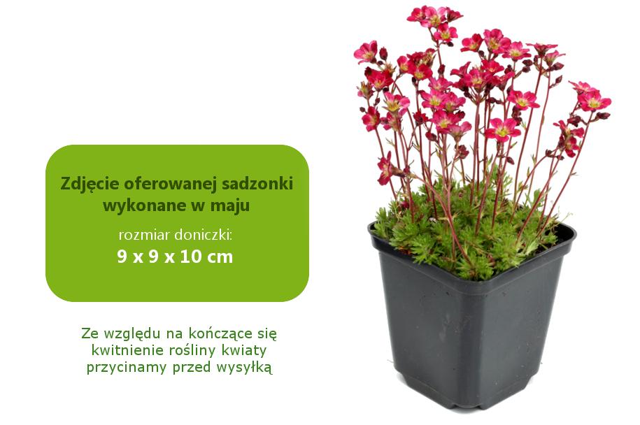saxifraga_arendsii_purpurteppich.jpg