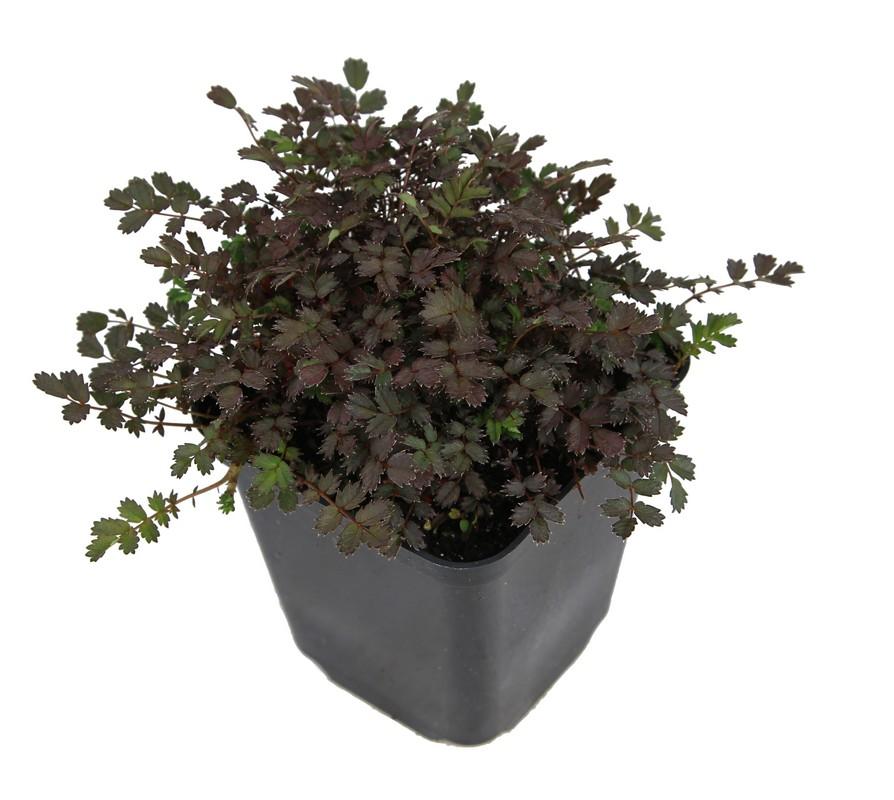 Zdjęcie sadzonki aceny drobnolistnej 'Kupferteppich'