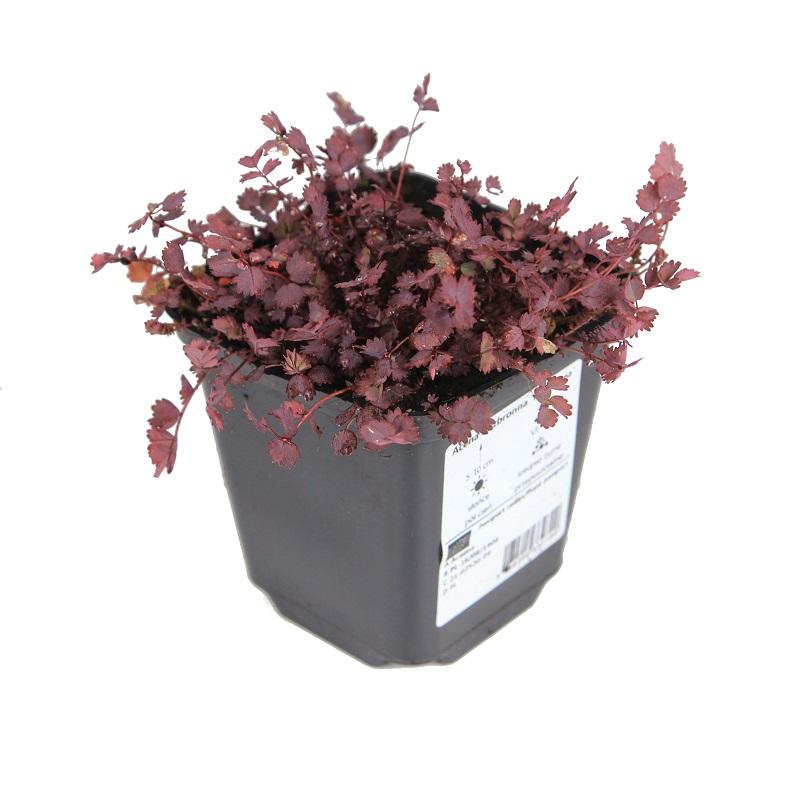 Zdjęcie sadzonki aceny bezbronnej 'Purpurea'