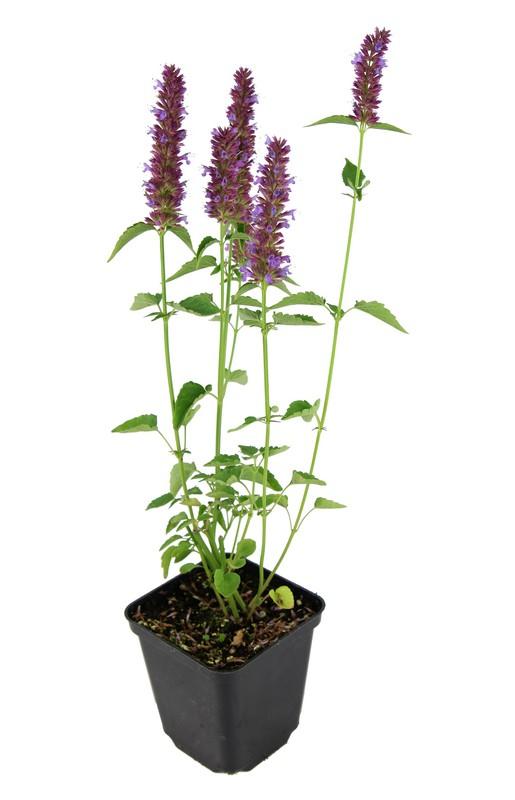 Zdjęcie sadzonki kłosowca 'Beelicious Purple'