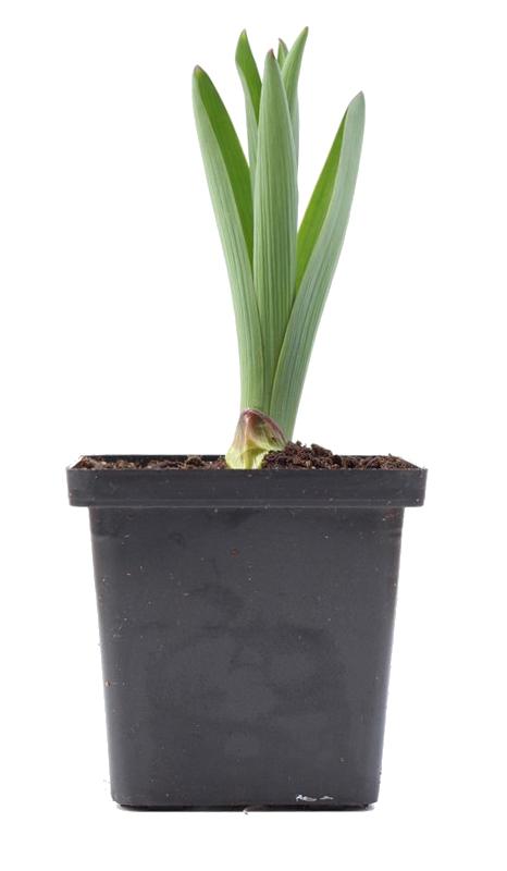 Zdjęcie sadzonki czosnku karatawskiego