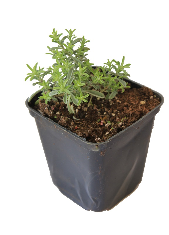 Zdjęcie sadzonki smagliczka ciernistego 'Rubrum'