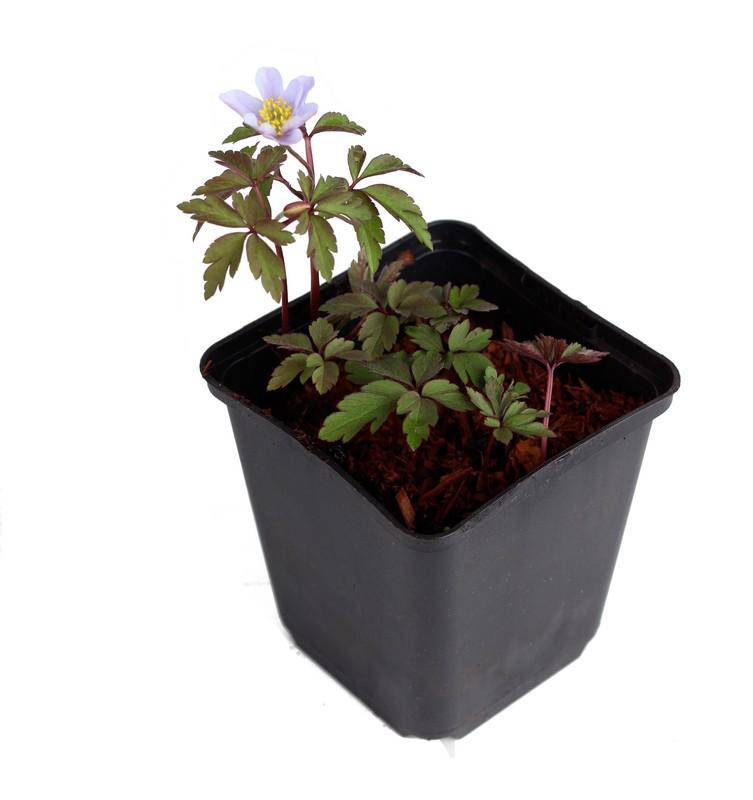 Zdjęcie sadzonki zwilca gajowego 'Robinsoniana'