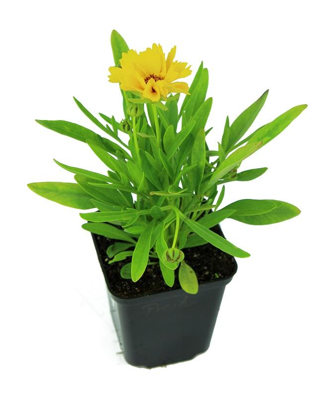 Zdjęcie sadzonki nachyłka wielkokwiatowego 'Presto'