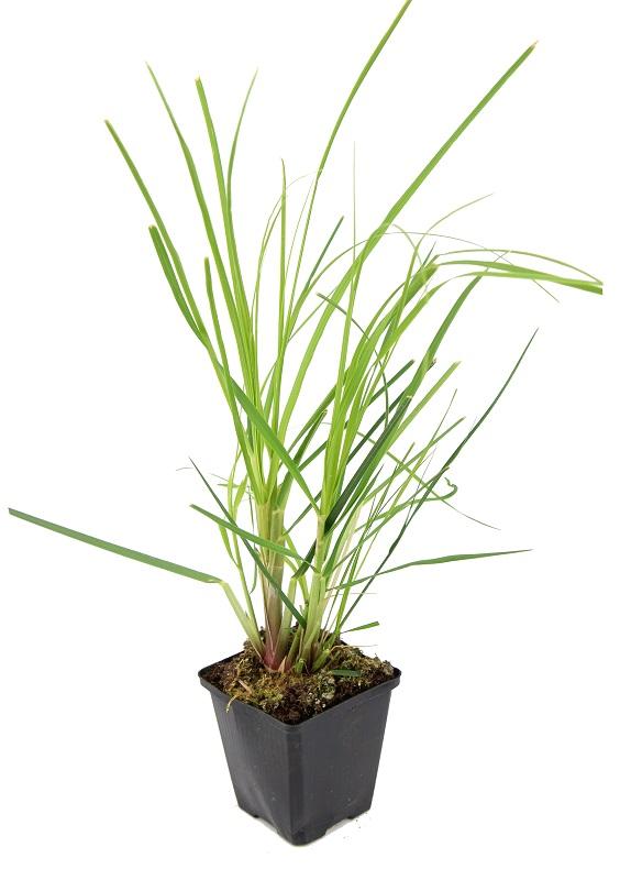 Zdjęcie sadzonki trawy pampasowej Pumila