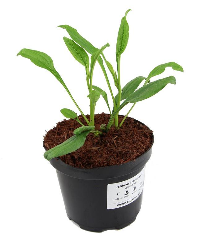 Zdjęcie sadzonki jeżówki 'Honeydew'